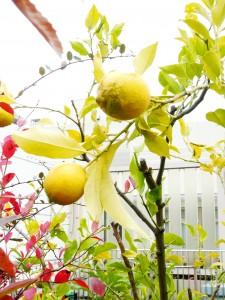 国分寺市障害者センター屋上の檸檬の写真